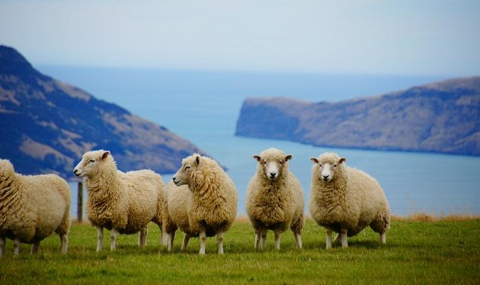 стая овец в горах над озером