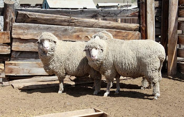 казахская порода овец