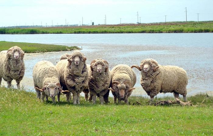 тонкорунные овцы у озера