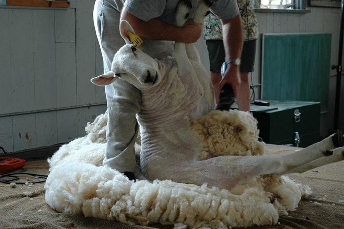 стрижка овец на шерсть
