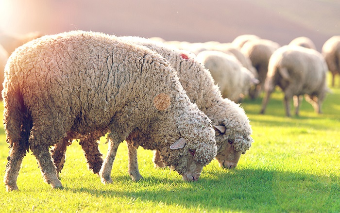 тонкорунные овцы на лугу