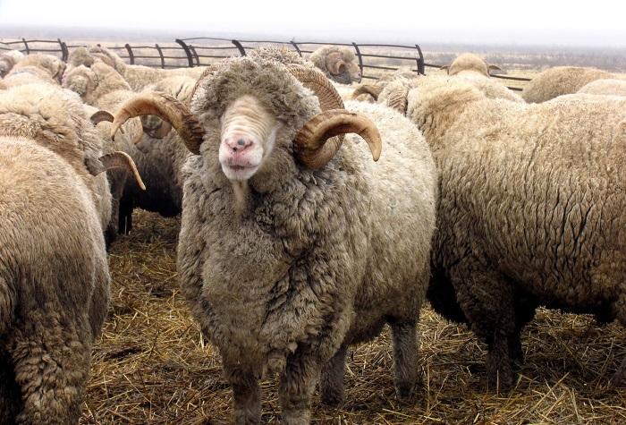 асканийская порода шерстяных овец