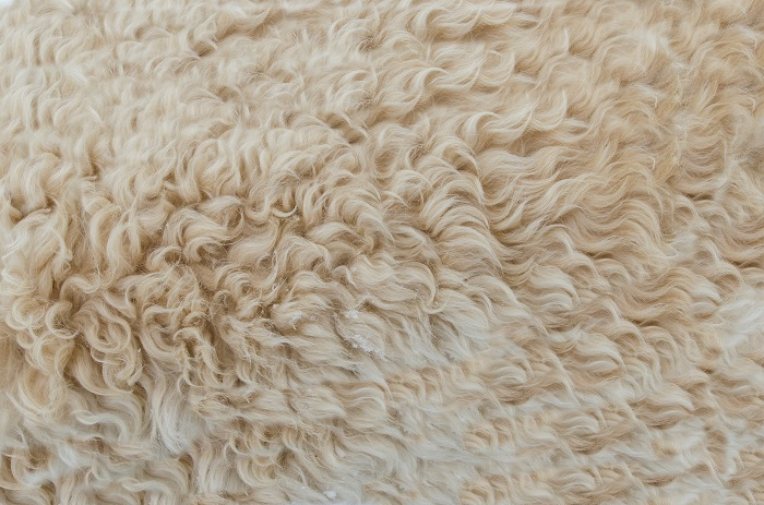 белая шерсть овец