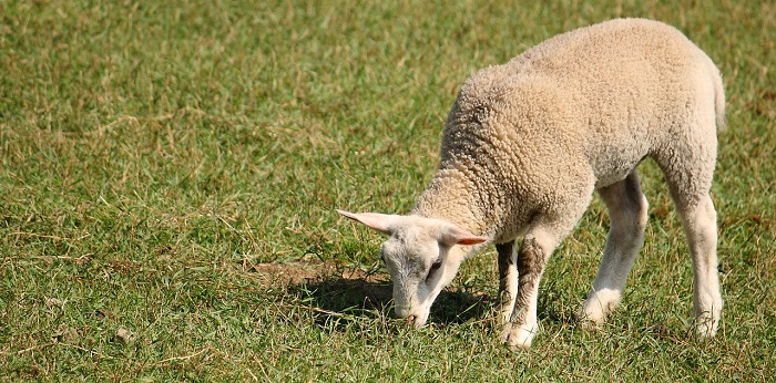 белый молодой баран ест траву