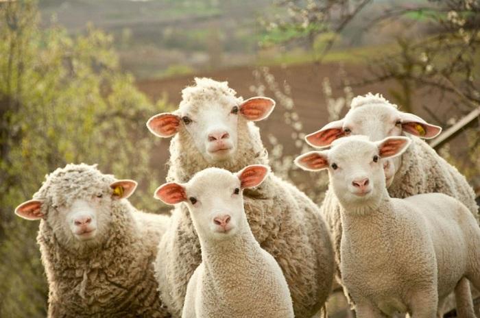 пять цигайских овец