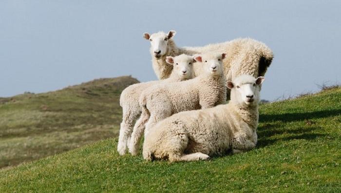 белые плюшевые овцы