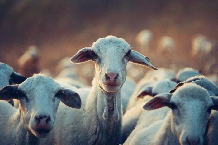 несколько белых коз