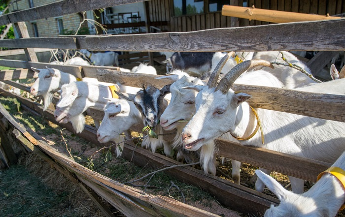 белые козы едят сено