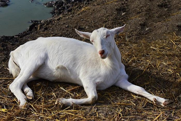 болезни белых коз