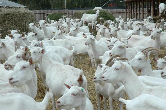 стадо белых молочных коз