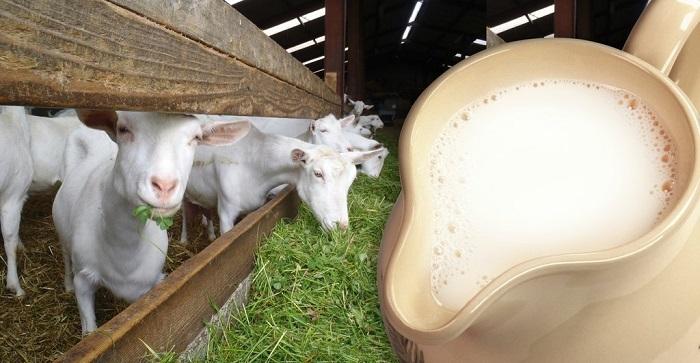 молоко белых коз