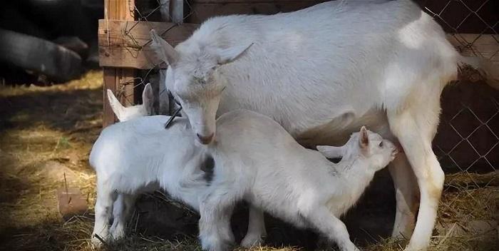 белые козлята