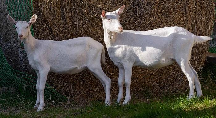 две белые молочные козы