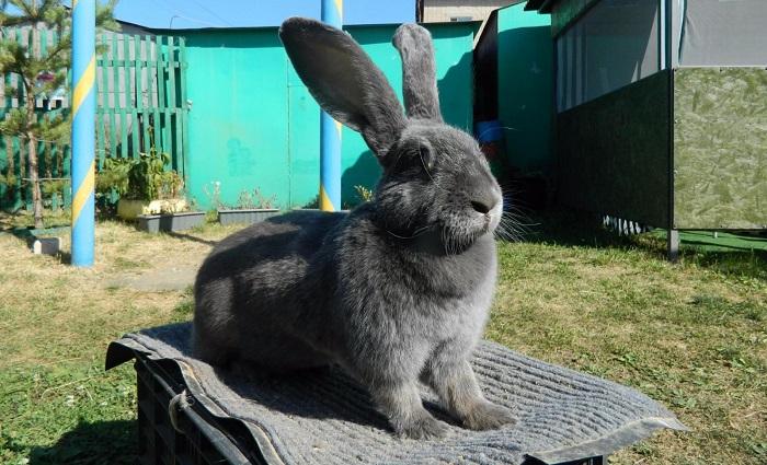 голубого окраса кролик