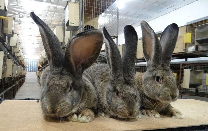 три длинноухих кролика