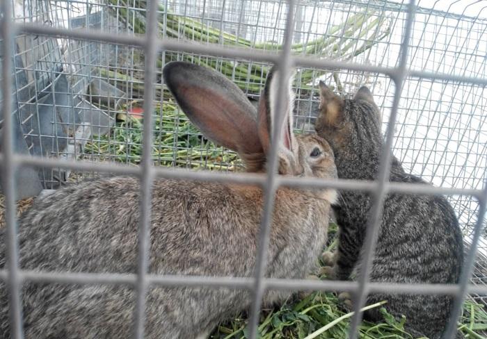 кролик в клетке с кошкой