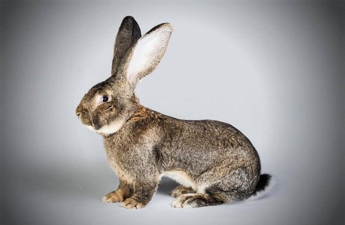 длинноухий кролик