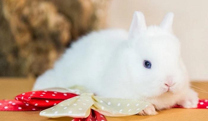 голубоглазый белый кролик