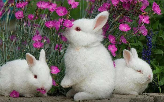 красноглазые кролики
