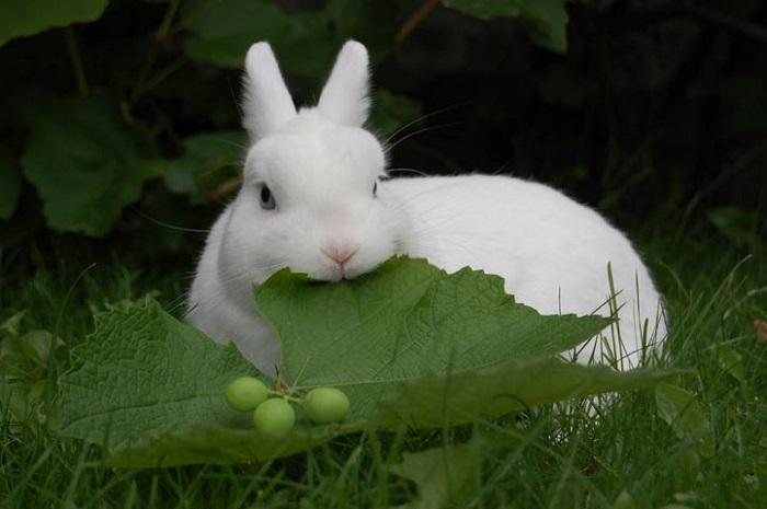 кролик белый ест листок