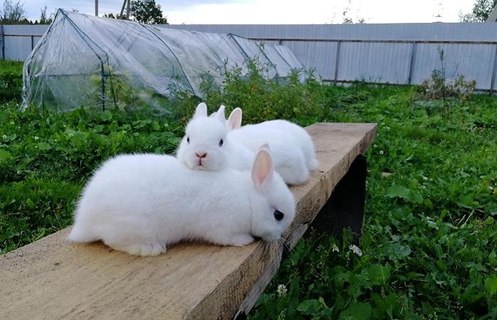 три белых кролика на доске