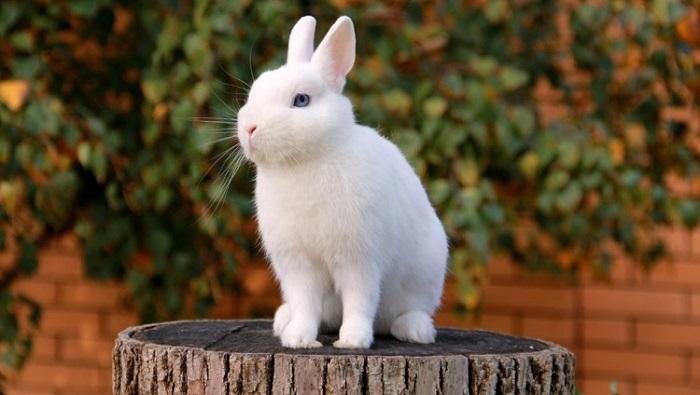 белоснежный кролик
