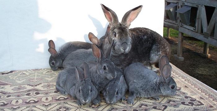много шиншилловых кроликов