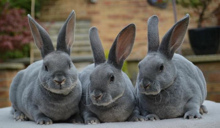 кролики голубого окраса