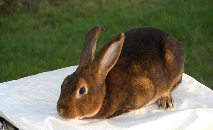 кролик кастор