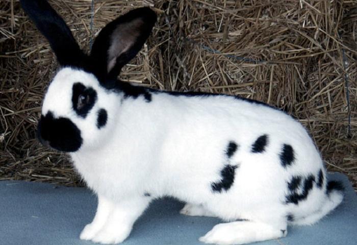 черно-белый кролик