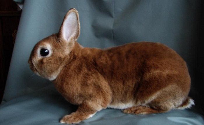 кролик с маленькими ушами