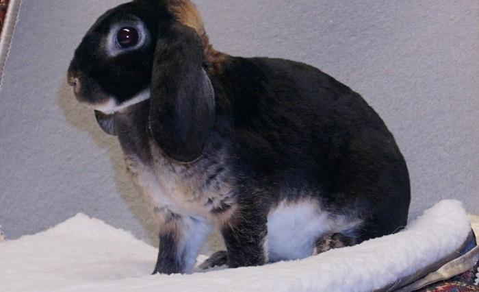 кролик с висящими ушами