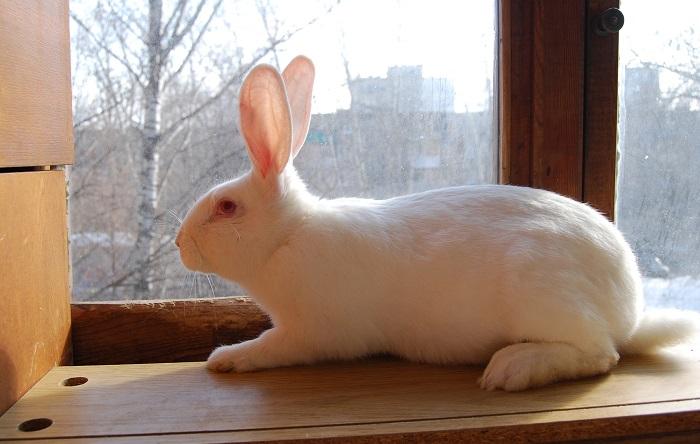 белый кролик на подоконнике