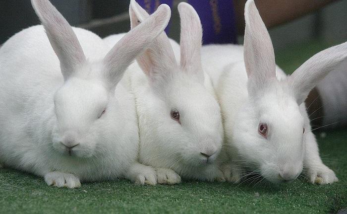 три белых кролика
