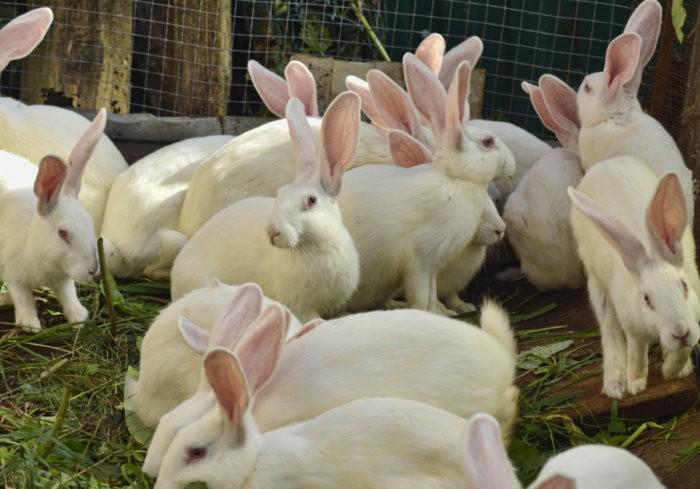 много белых кроликов