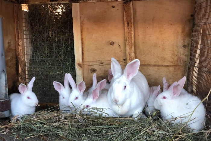 крольчиха и крольчата белые