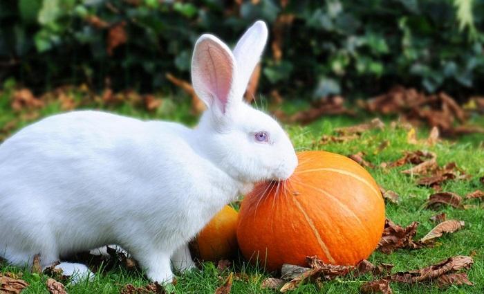белый кролик и тыква
