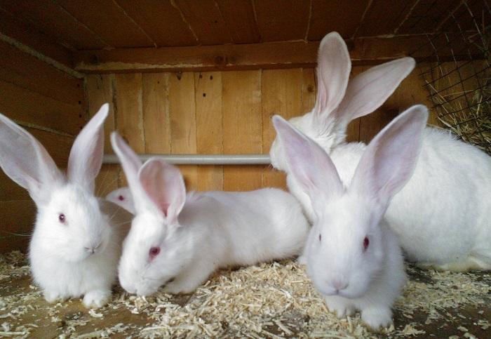 четыре белых кролика
