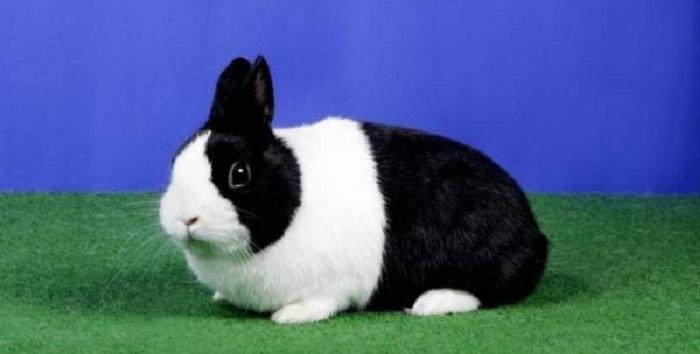 белочерный голландский кролик