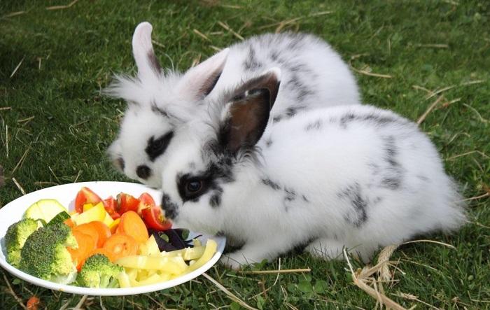 карликовые кролики едят овощи