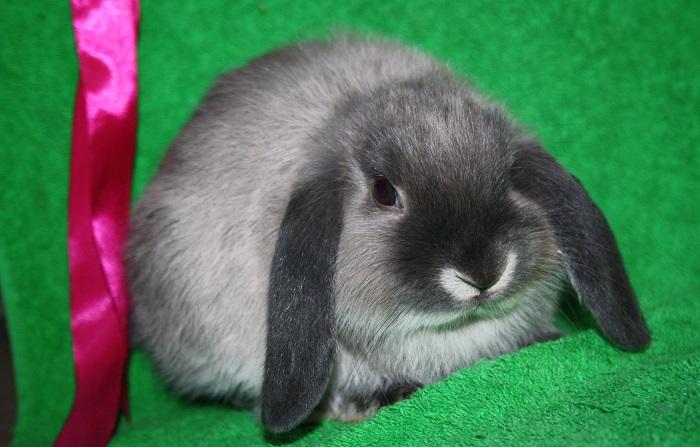 вислоухий кроль и розовая лента