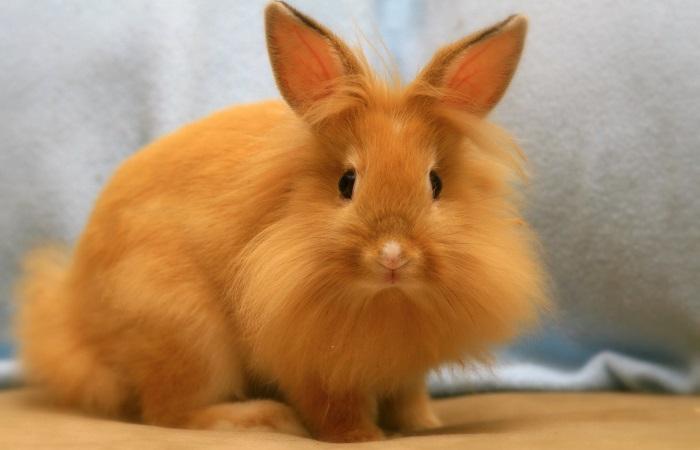 рыжий пушистый кролик