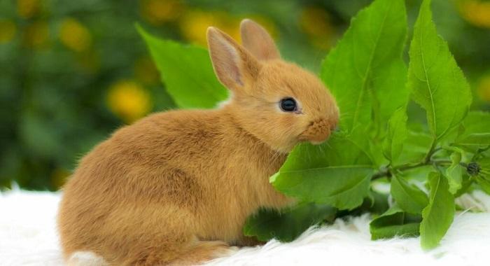 лисья порода кроликов