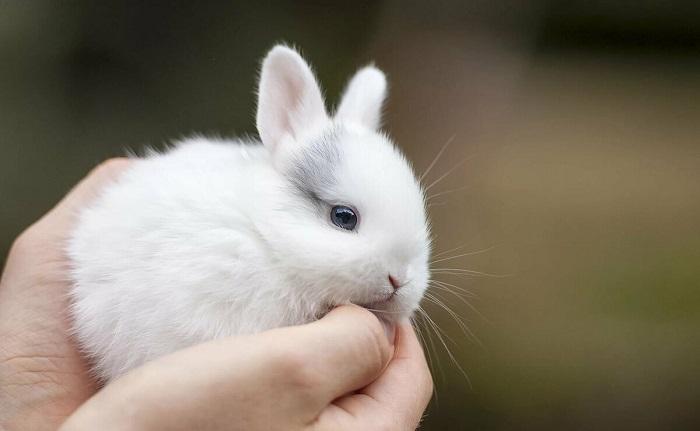 декоративный кролик в ладонях