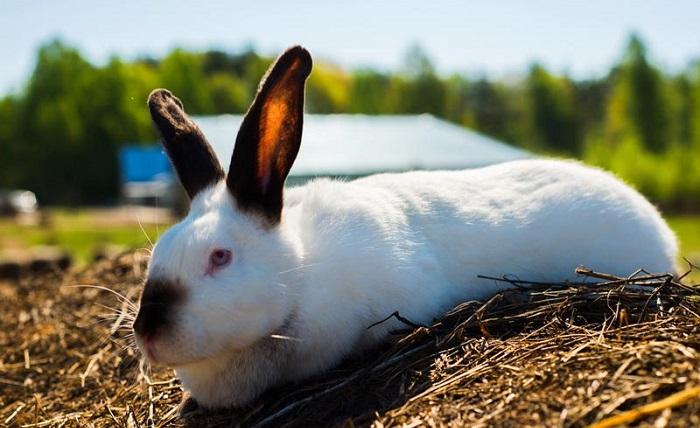 калифорнийский мясной кроль