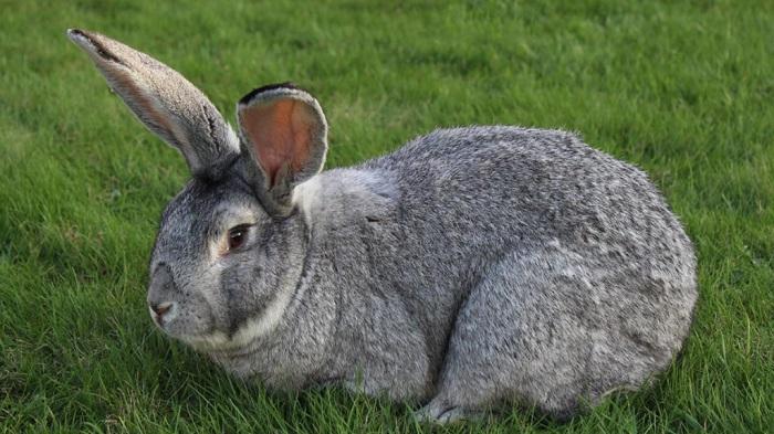 серый великан на траве