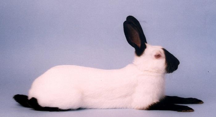гималайский белый кролик