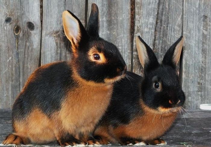 черноогненный кролик