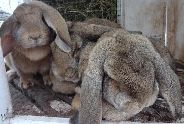 кролик большой серый баран