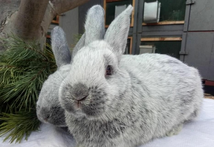 серебристый кролик